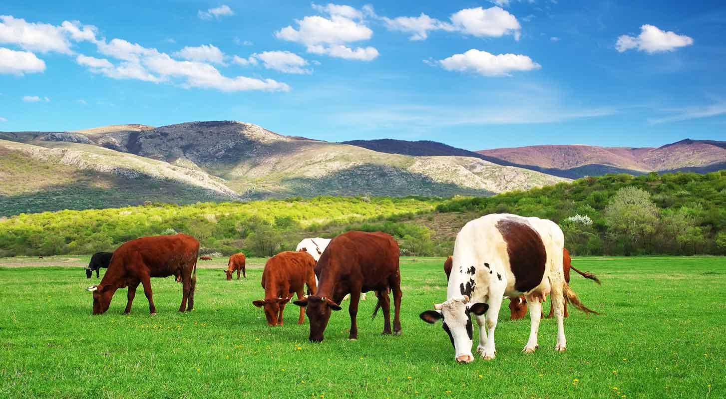 Direkçi Group Süt İnekçiliği