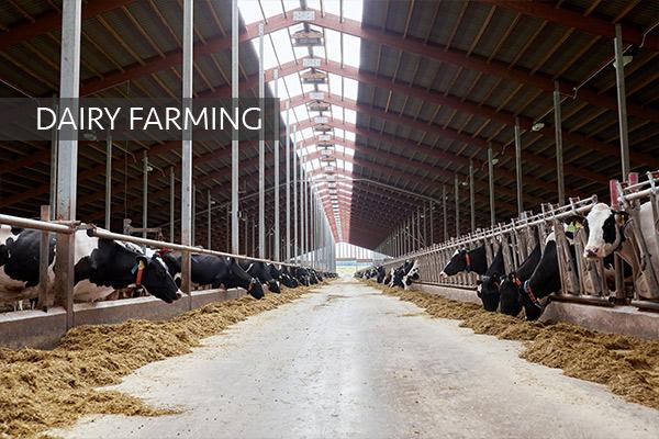 Direkçi Group Dairy Farming
