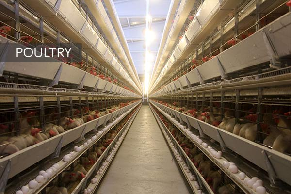 Direkçi Group Poultry